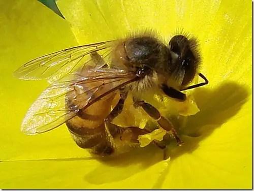 abeja Monsanto planea usar abejas robóticas para polinizar sus cultivos