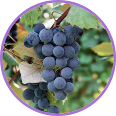 Grape juice and grape jellies and jams are long-time favorites of children and adults alike. America's favorite grape juice and grape jelly come from Concord grapes.
