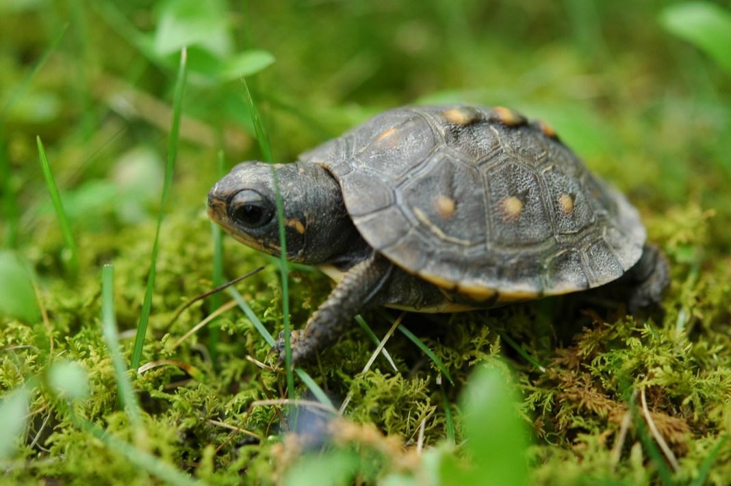 Research has found a bioluminescent turtle. Photo, Wikimedia, John.