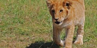 Lion cub. Photo: Paul Mannix, Science Box