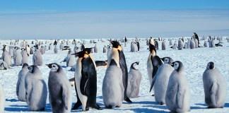 Penguins_ Wikimedia_Guisseppe