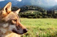 Der Wolf ist nach Deutschland zurückgekehrt: Vor allem Landwirte und Viehzuchthalter macht das Sorgen.