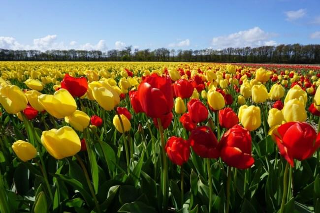 Taun depan kami akan mengunjungi kalian kembali wahai tulip-tulip yang indah