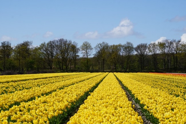 Tulip kuning. Gemes!