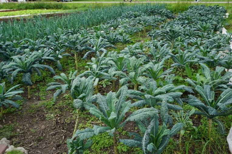 Ini tanaman apa ya, Kale kayaknya. Yang disebelahnya adalah Pre