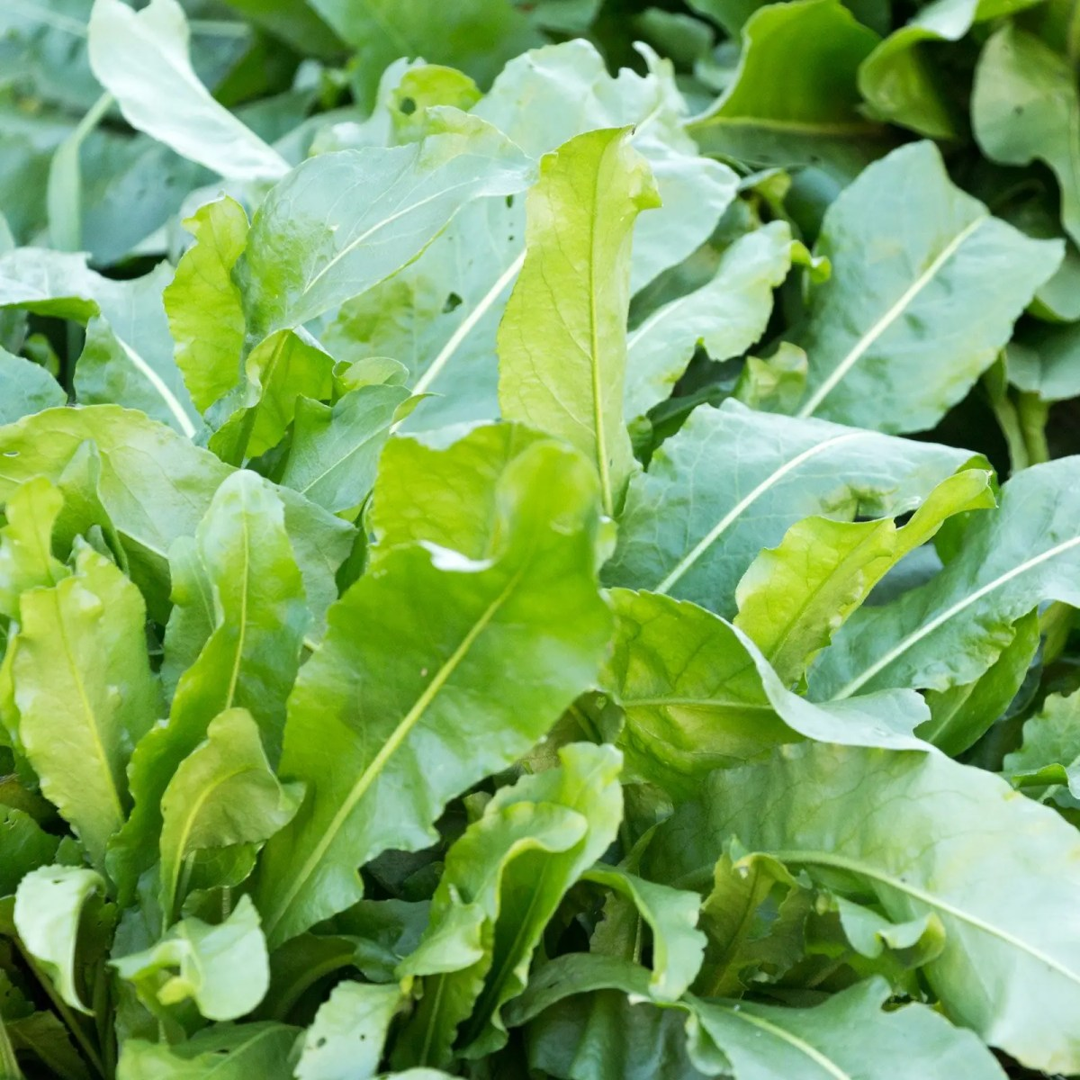 Healthy woad leaves.