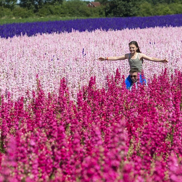 Photo by Phil Yeomans, in the Daily Mail, 2015, The Confetti Flower Field, The Real Flower Petal Confetti Company, Worcestershire