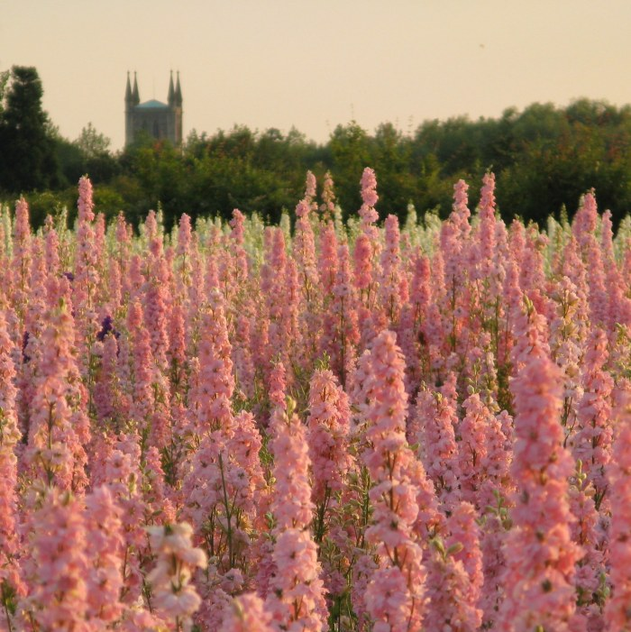 The Confetti Flower Field, 2014, The Real Flower Petal Confetti Company, Worcestershire