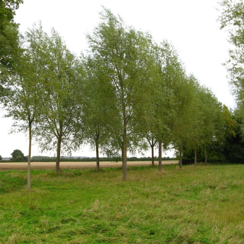 cricket bat willow trees on the wyke manor estate