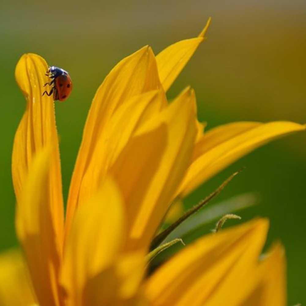 sunflower with a ladybird
