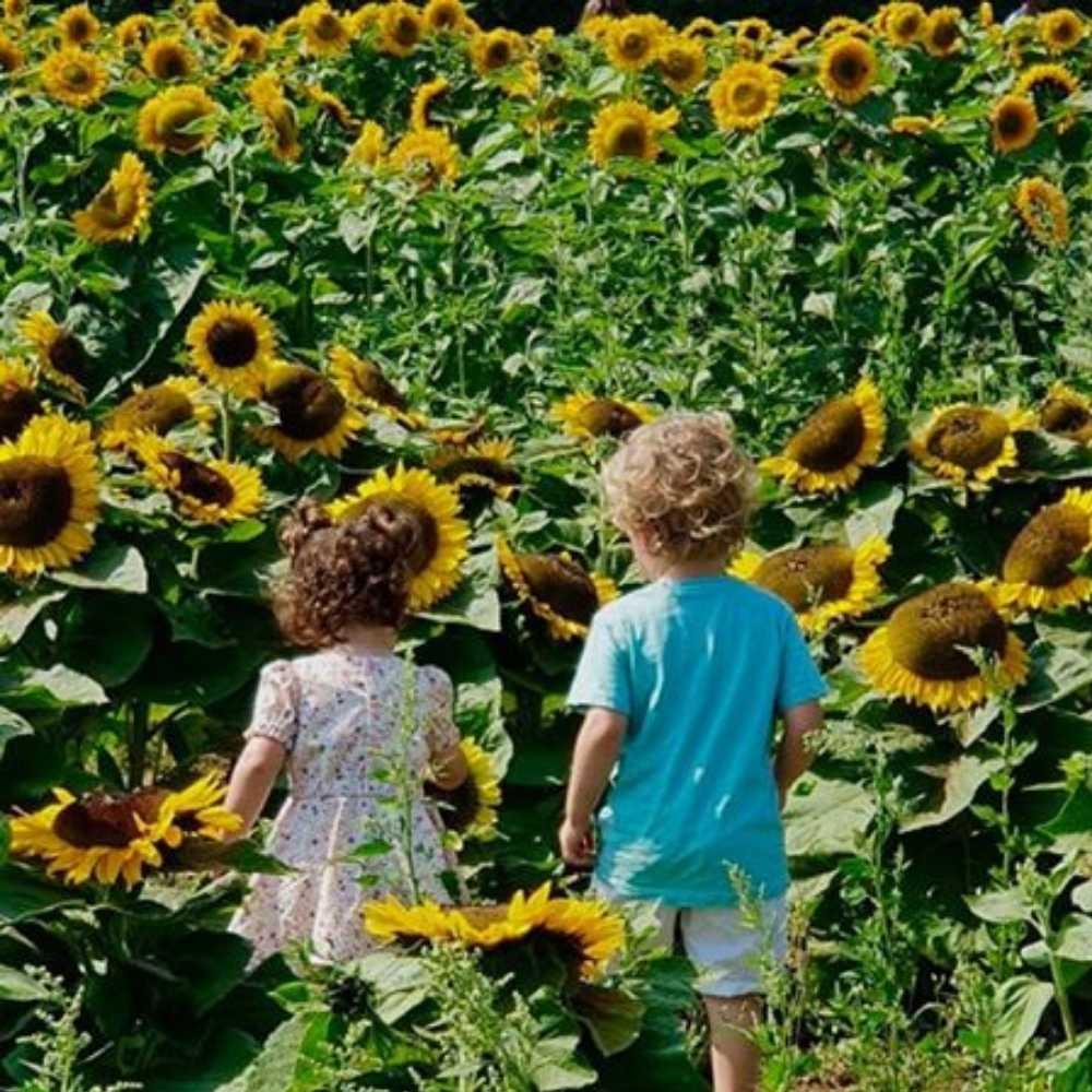 sunflower field wyke manor estate