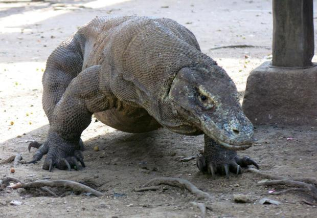 indonesia komodo dragons