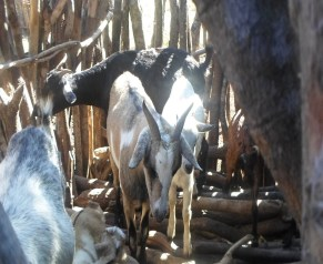 Some of the Livestock
