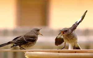 mocking birds arguing
