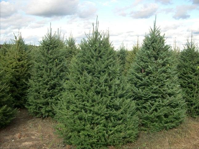 Balsam Fir Coniferous Forest
