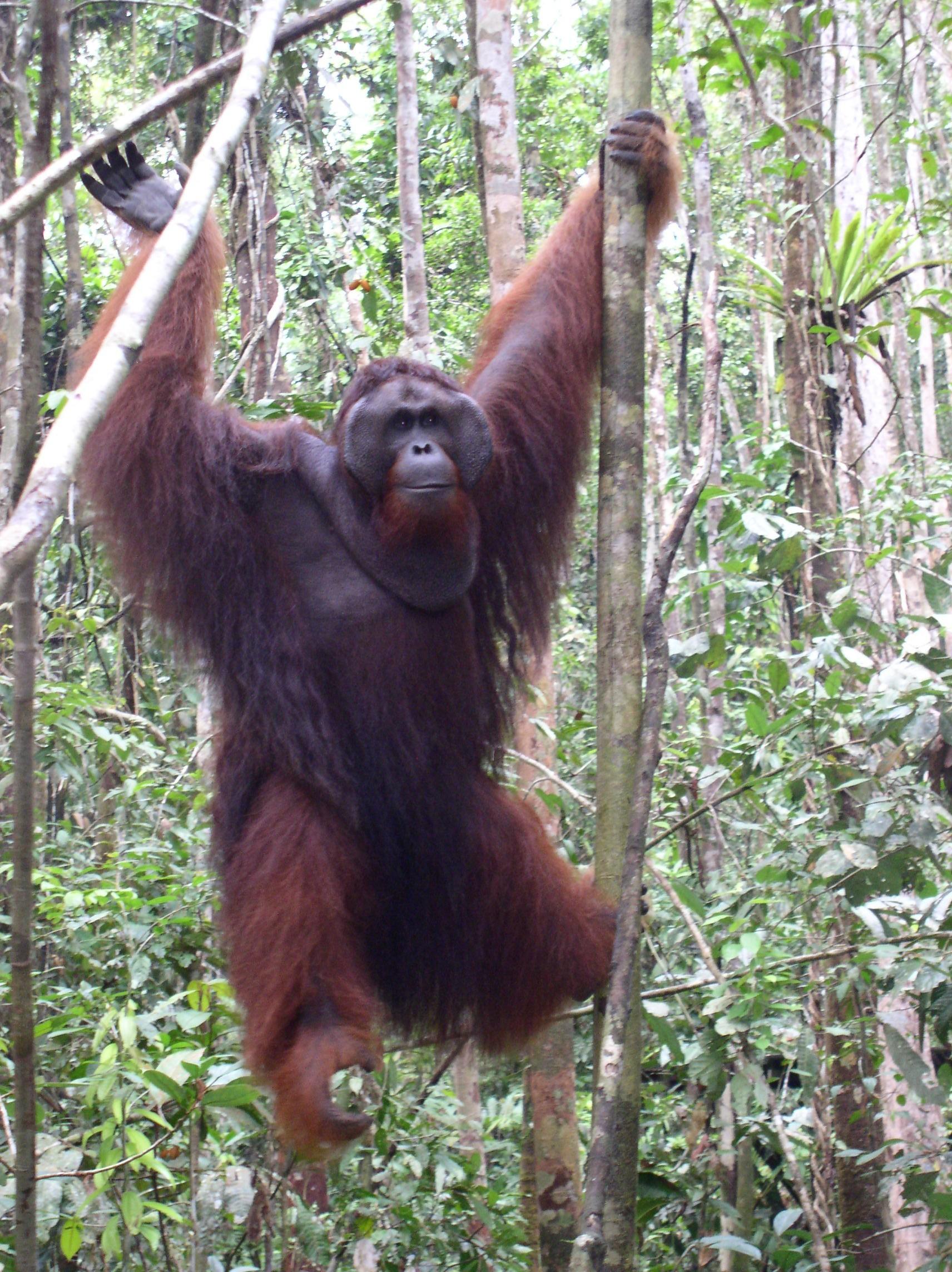 Ritchie Large Male Orangutan In Borneo Forest Emily