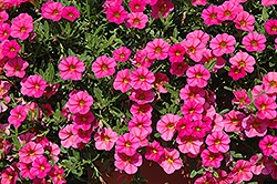 Calibrachoa Petunias