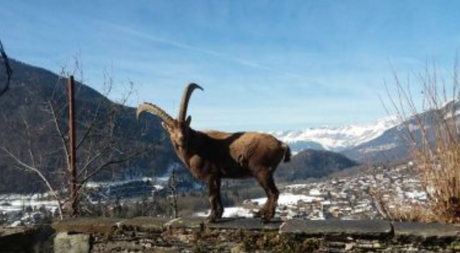 mystery mountain ibex moves into haute