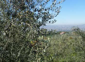 umbria-olives_3