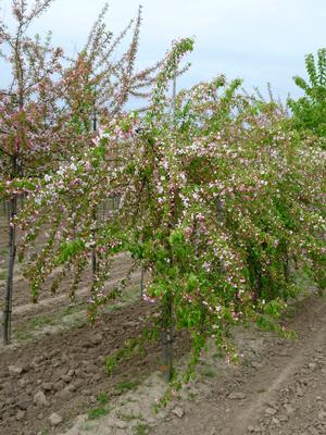 Malus 'Moonstone' - Tipei Crab Apple