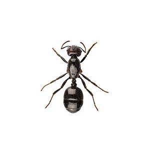 Little Black Ant Identification Habits Behavior Ehrlich Pest Control