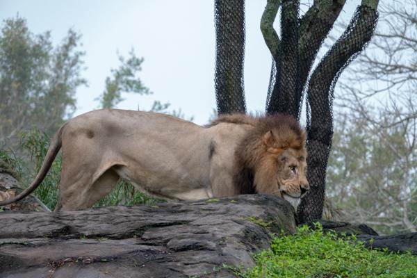 キリマンジャロ・サファリのライオン
