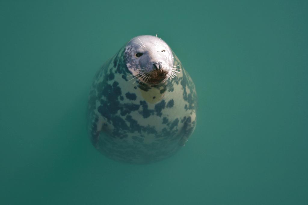 Bob the Seal