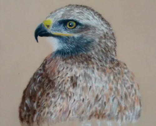 Falcon pastels drawing portrait picture