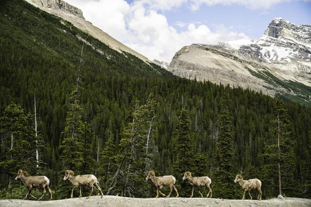 banff-big-horn-sheep-icefields