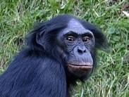 Bonobo, een van de primaten