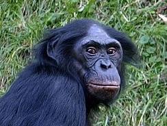 Een Bonobo