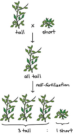 Mendel's proeven met erwtenplanten.