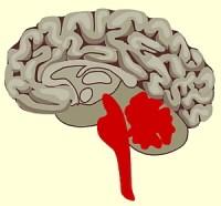 Reptielenbrein: het achterste deel van ons brein