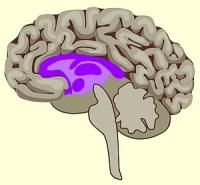 Het 'zoogdierenbrein' zit middenin de hersenen.