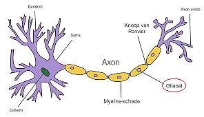 Gliacellen vormen een beschermlaag voor een axon.
