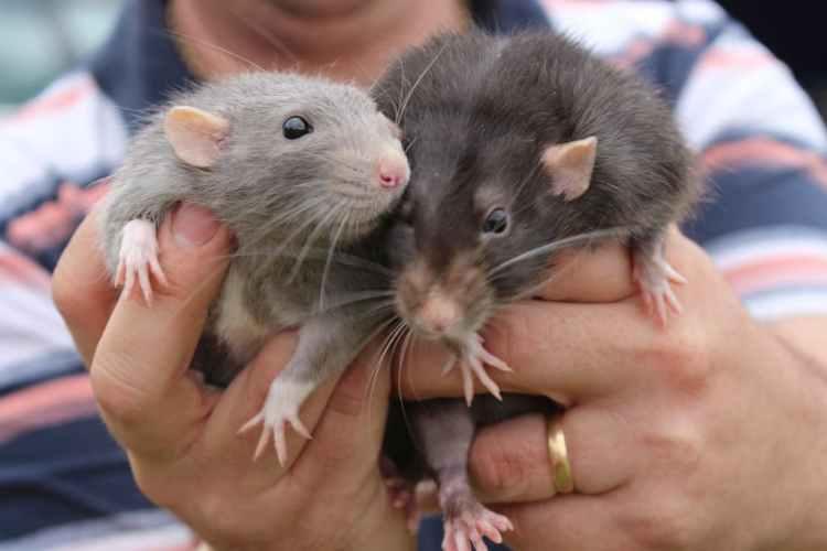 Comment se débarrasser des rats ?