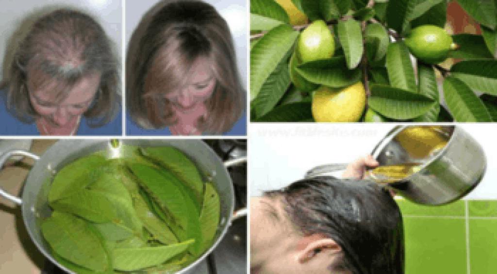 Les feuilles de goyave contre la perte de cheveux