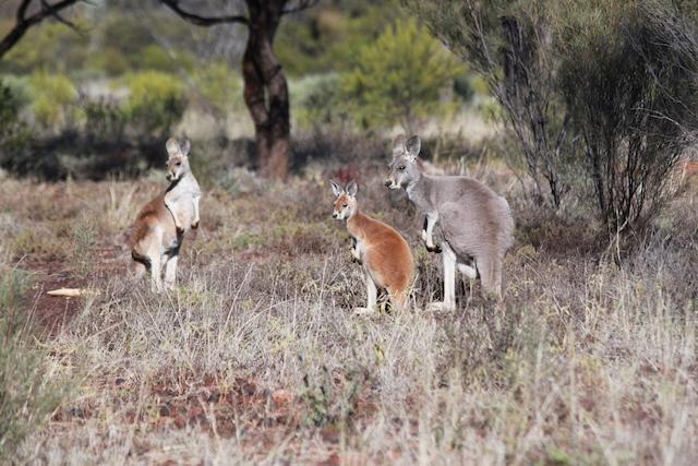 Red kangaroos at Idalia National Park. Credit: Anne Goldizen.