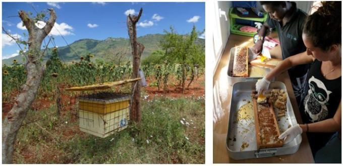 Left: One of the beehives covered in a cage to prevent honey badgers from raiding (photo credit Alexa Piggott) Right: Processing their Elephant Friendly Honey in the honey processing room (photo credit Madi Schiller-Chan)