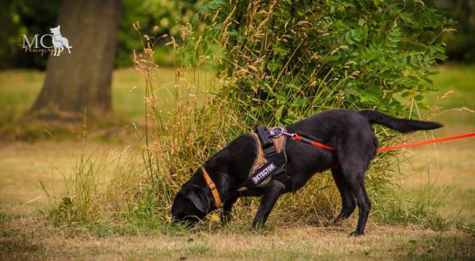 Credit: Conservation dogs consultancy K9 Consultancy.