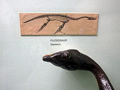 A plesiosaur skeleton