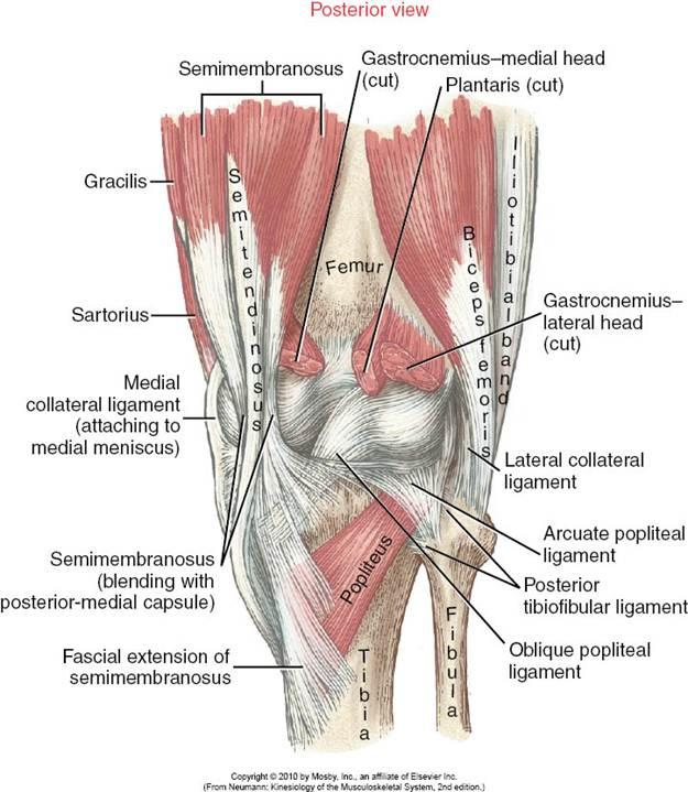 semimembranosus-post-knee-insert