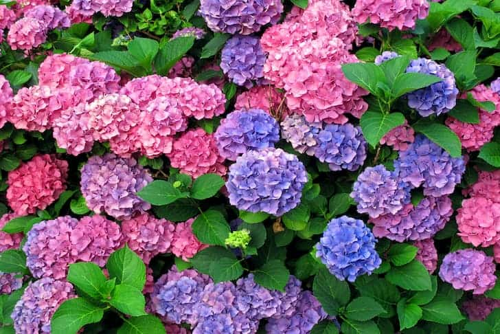 Do Deer Eat Hydrangeas And 6 Ways To Keep Them Away Conserve Energy Future