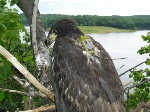 Merrill Creek Reservoir chick with satellite transmitter