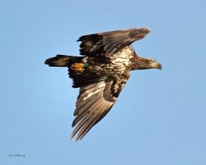 Eagle banded D/39 © Kristen Nicholas