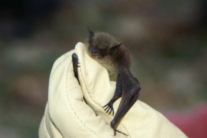 Little brown bat thumbhugger
