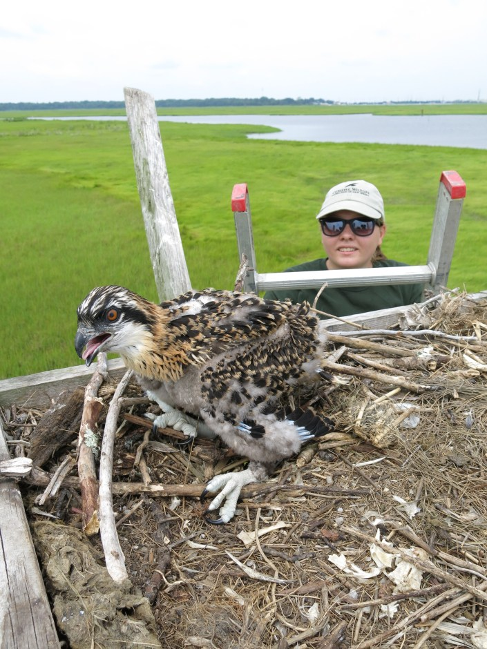 Ashley Hecht, Great Bay Terrapin Project Intern helps band ospreys.