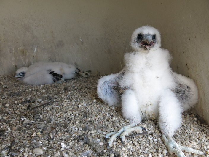Two 3 week old peregrine falcon young at a nest inside Edwin B. Forsythe NWR in Oceanville. © Ben Wurst