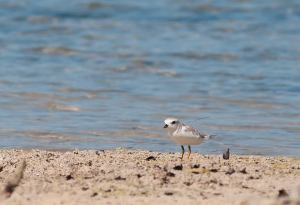 Nessie is a piping plover that was banded in Stone Harbor, New Jersey this past summer. She was last seen in NJ on July 2 after her nest failed. On September 29 she was resighted on Abaco, Bahamas.