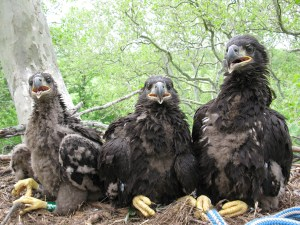 Duke Farms eagle nest at banding May 18, 2009 © Mick Valent